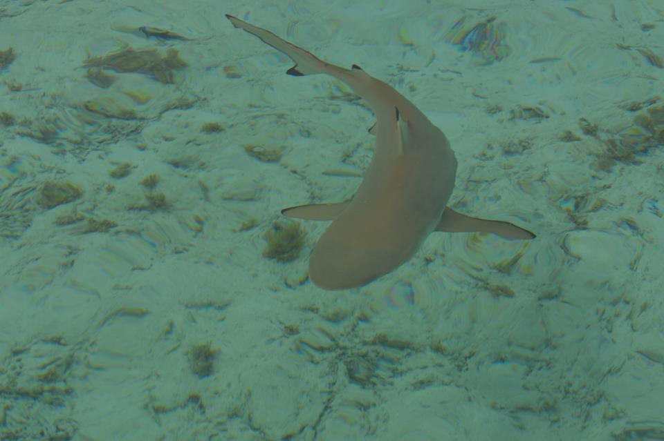 black-tipped-reef-shark