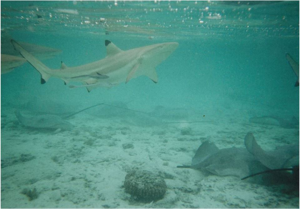 bora-bora-sharks-and-rays