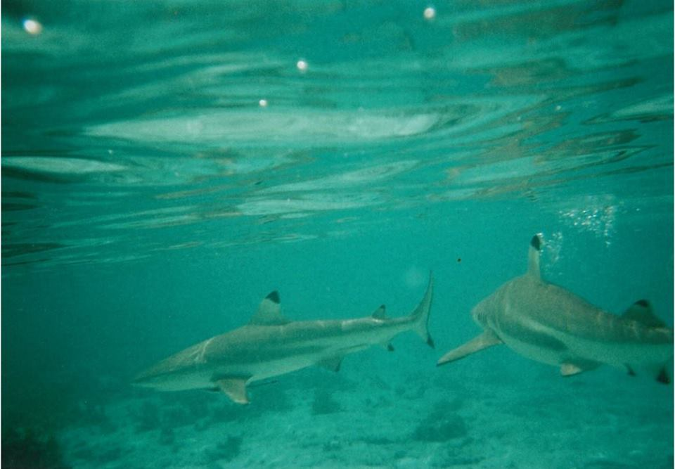 bora-bora-swimming-with-sharks