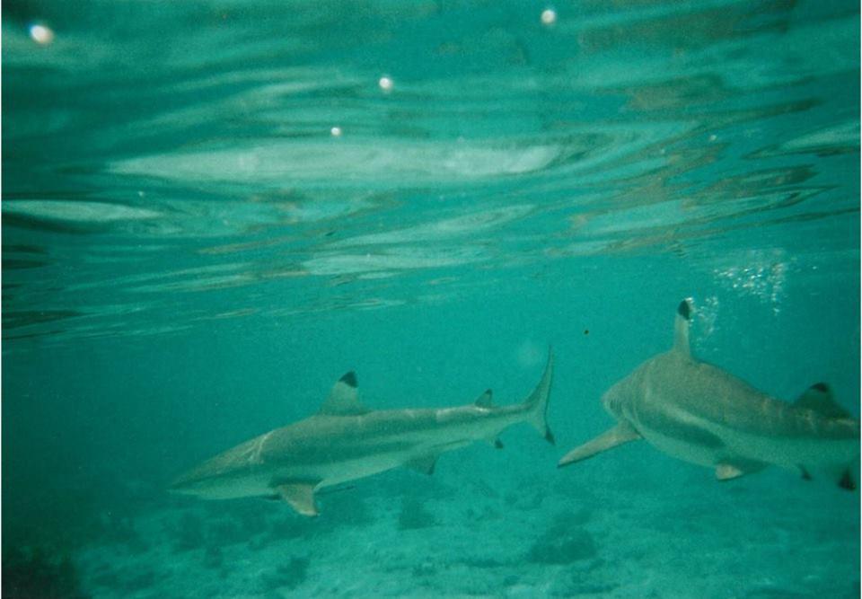 bora-bora-swimming-with-sharks