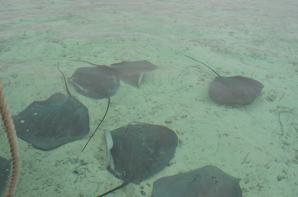feeding-stingrays