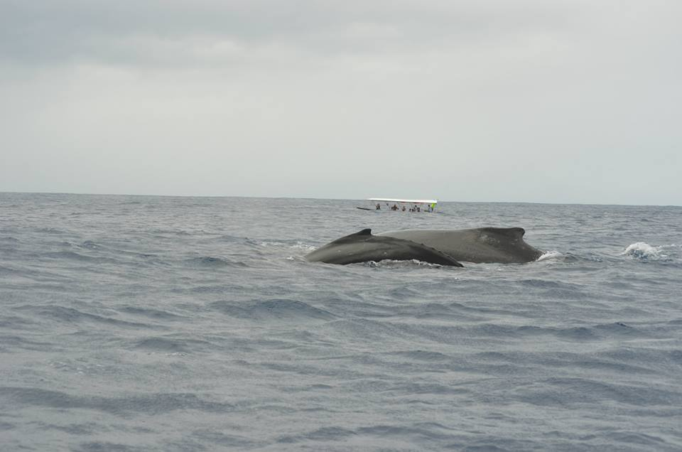 moorea-whale-watching-2