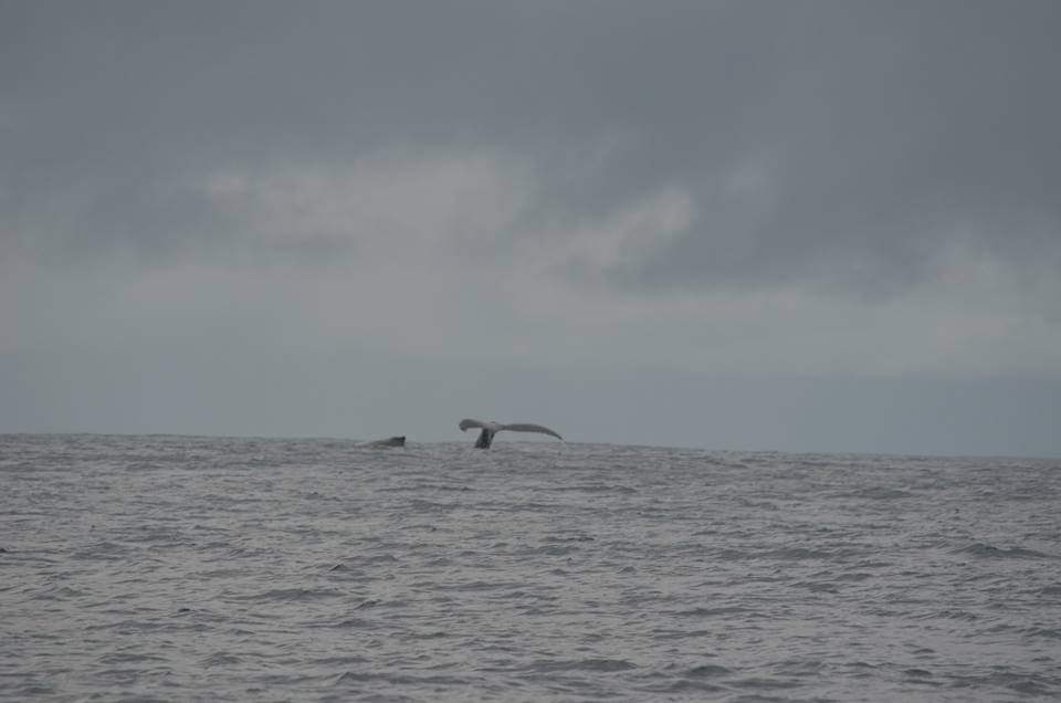 moorea-whale-watching